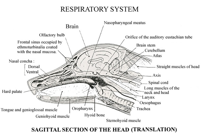 Respiratory system sagittal section of the headg ccuart